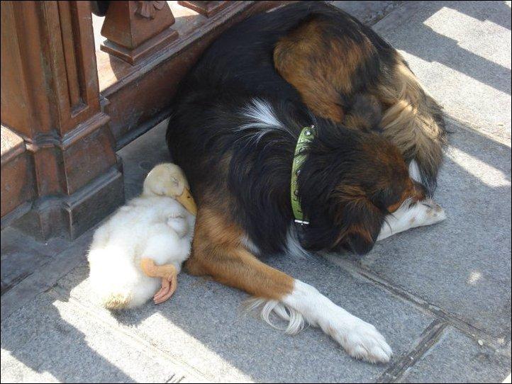 Собака и утка