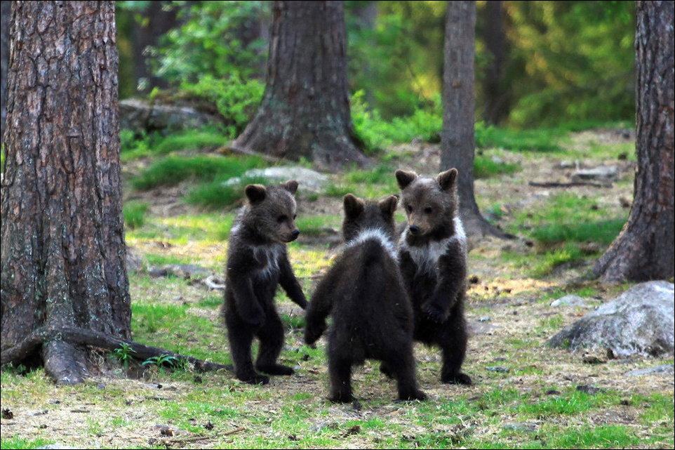 Медвежата в лесу