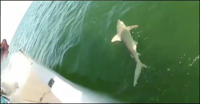 Окунь проглотил акулу