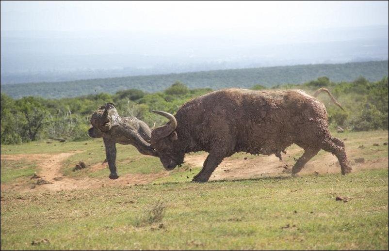 Слоненок и буйвол