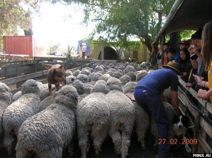 dog-sheeps-04
