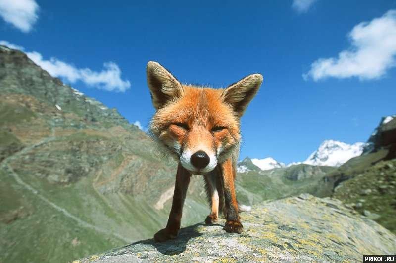 fox-fox-01
