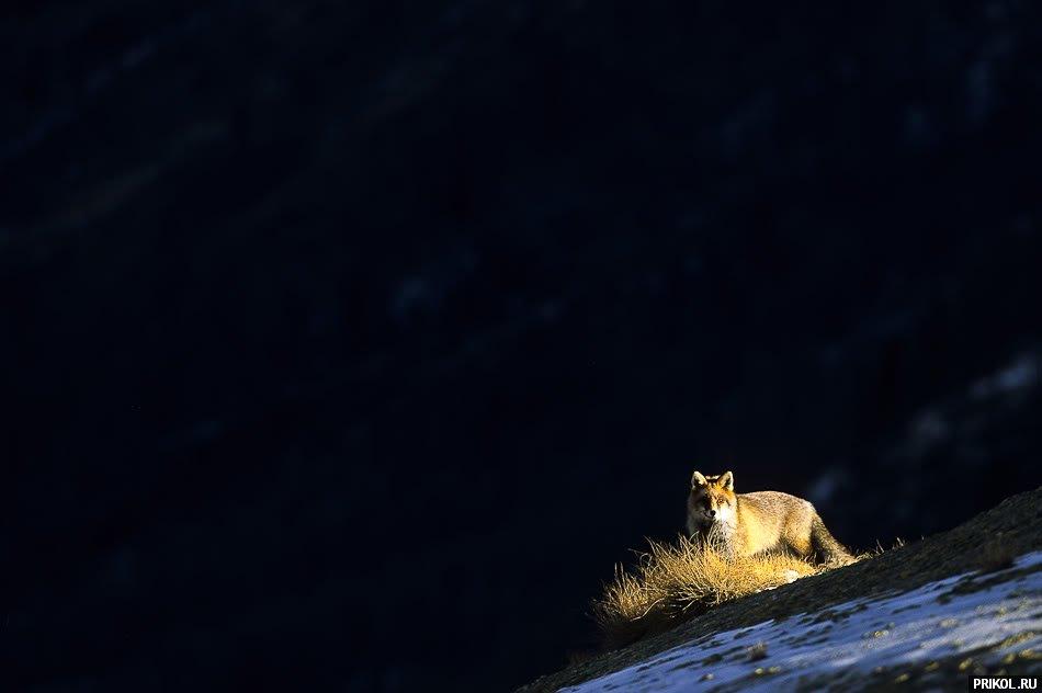 fox-fox-02