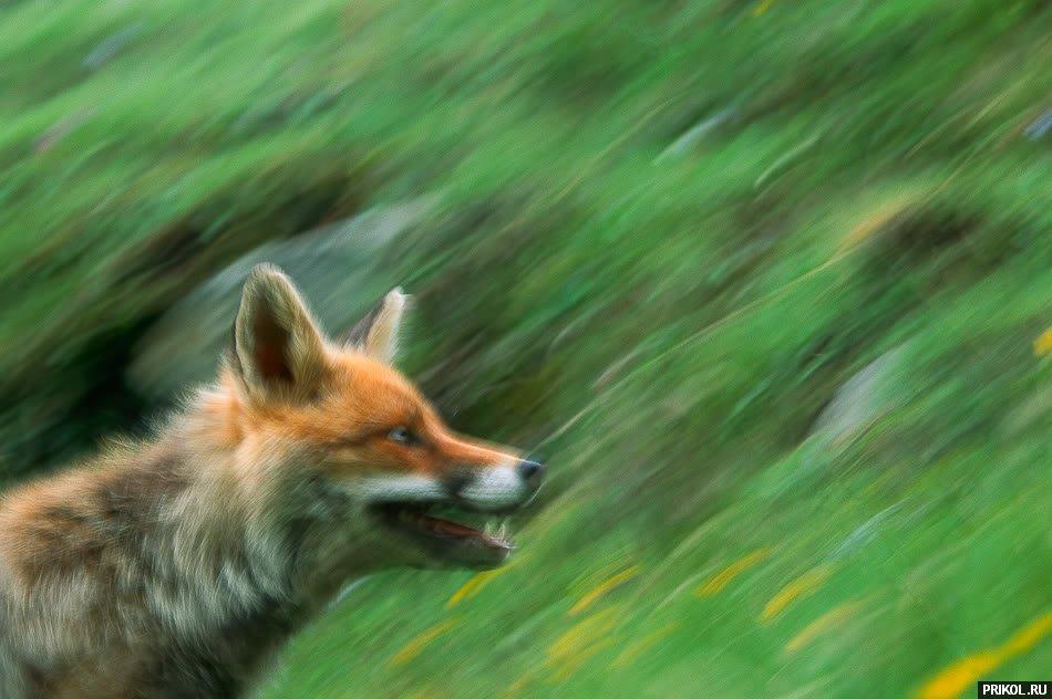 fox-fox-05