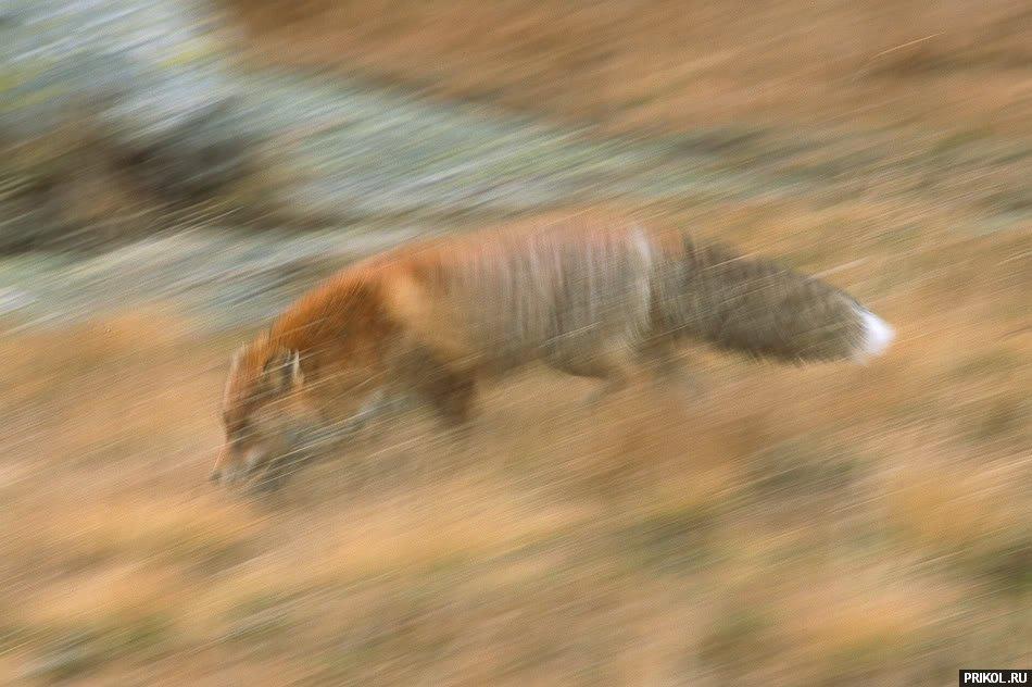 fox-fox-08