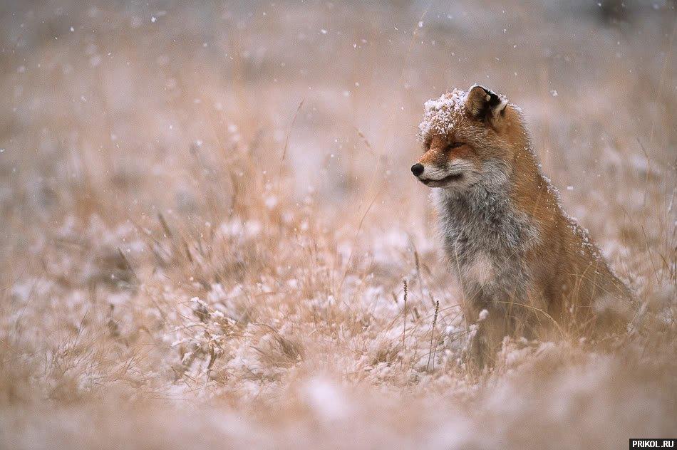 fox-fox-09