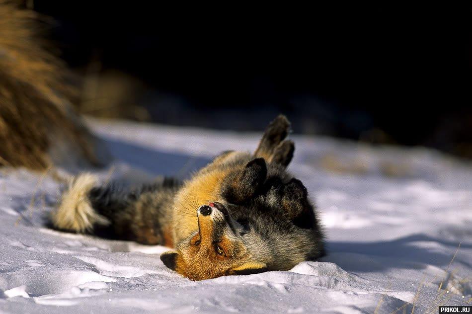 fox-fox-12