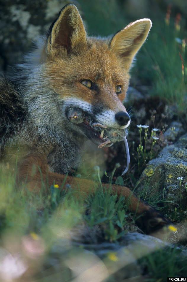 fox-fox-14