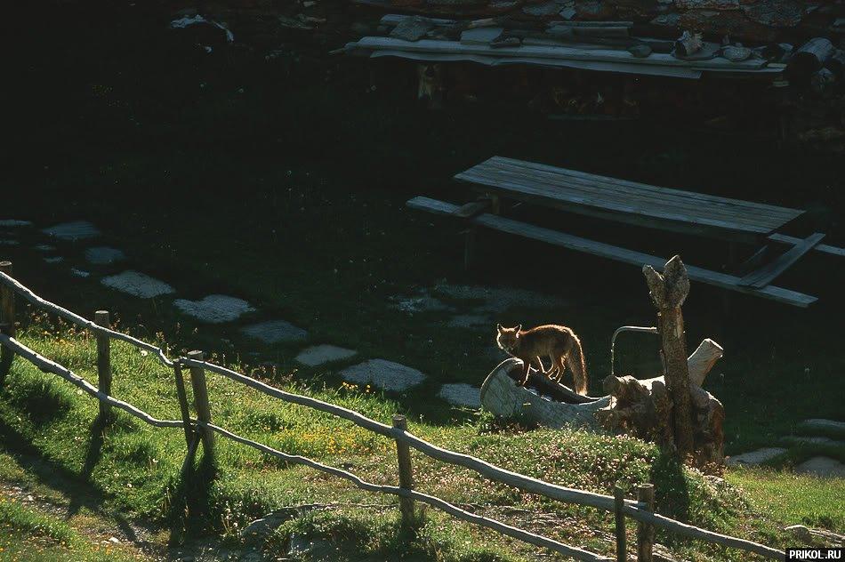 fox-fox-15