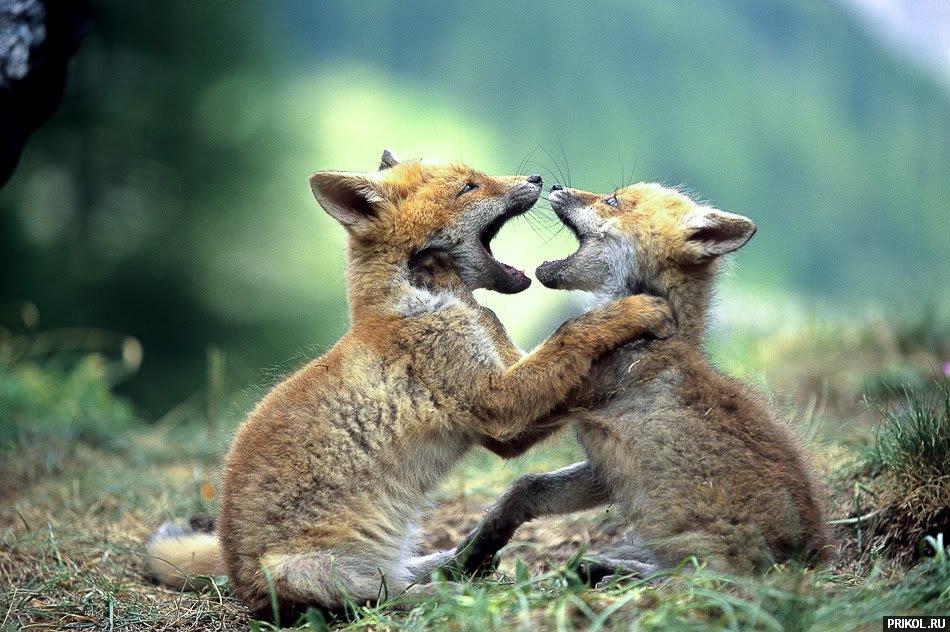 fox-fox-17