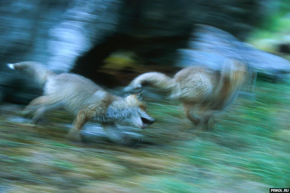 fox-fox-18