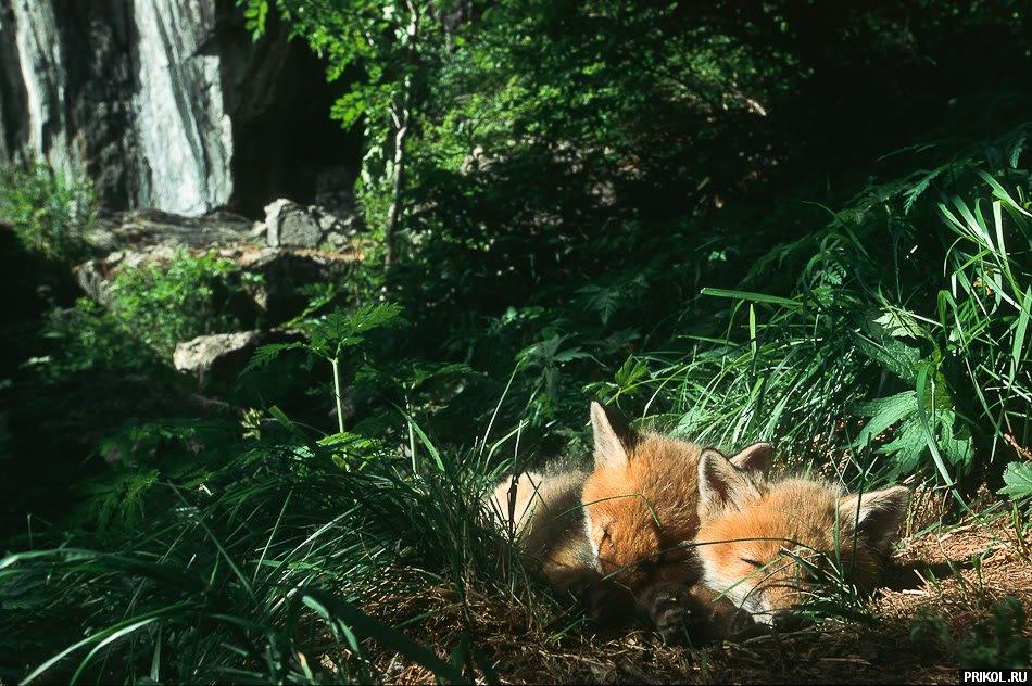 fox-fox-19