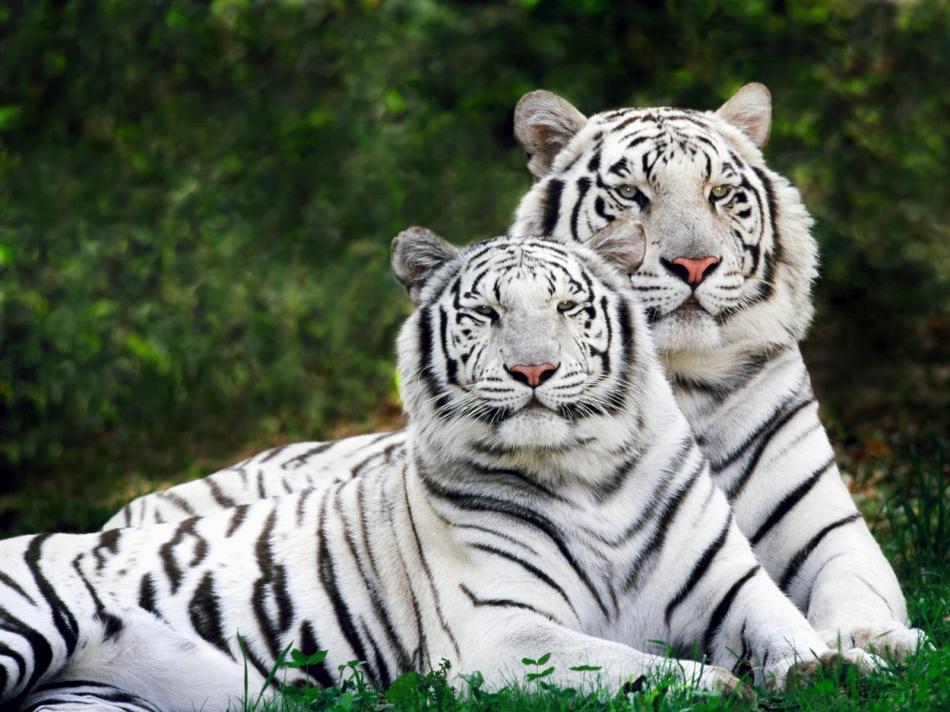 tiger-2010-03
