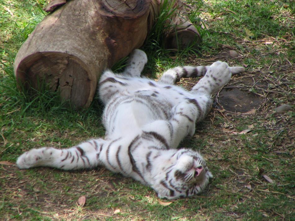 tiger-2010-04
