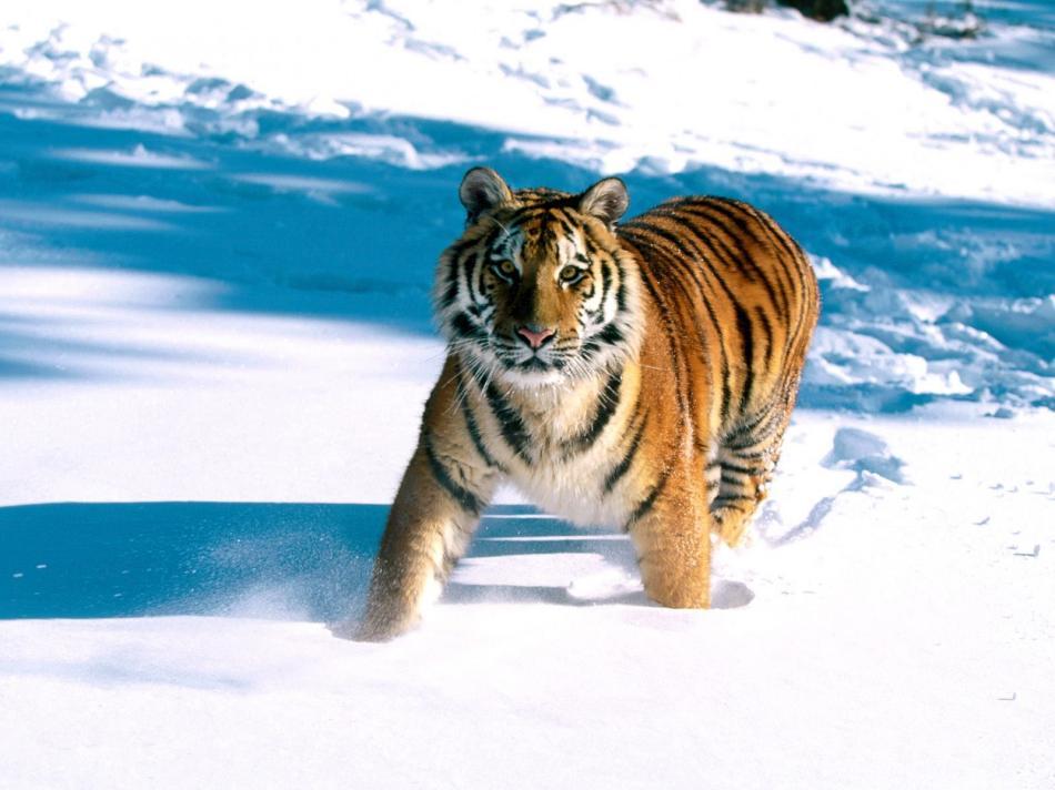tiger-2010-06