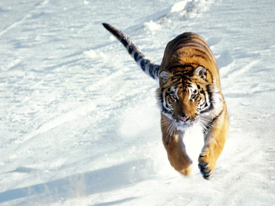 tiger-2010-07