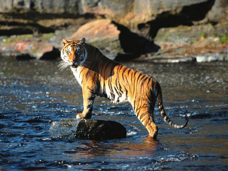 tiger-2010-08