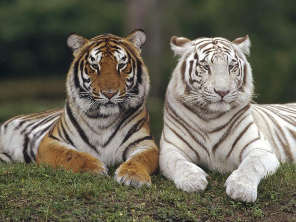 tiger-2010-09