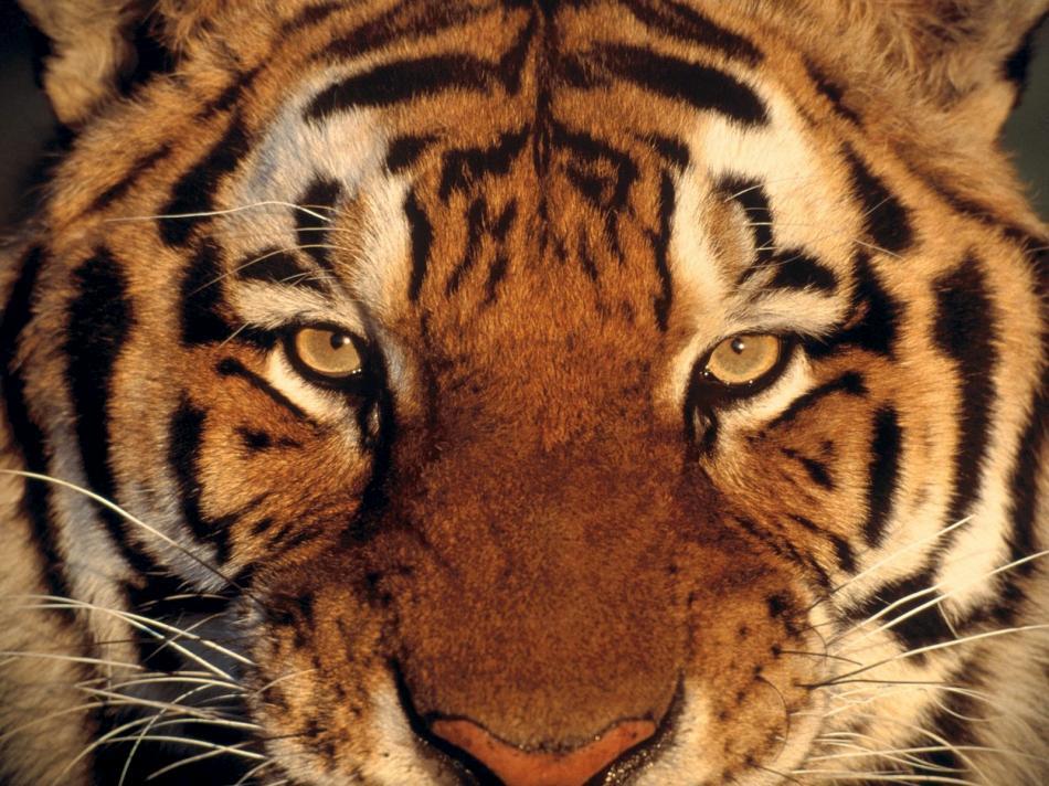 tiger-2010-10