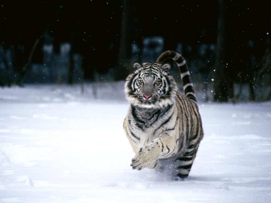 tiger-2010-11
