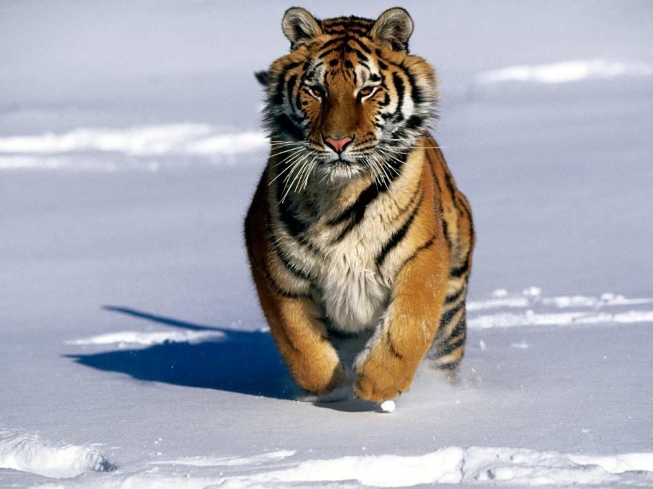 tiger-2010-12