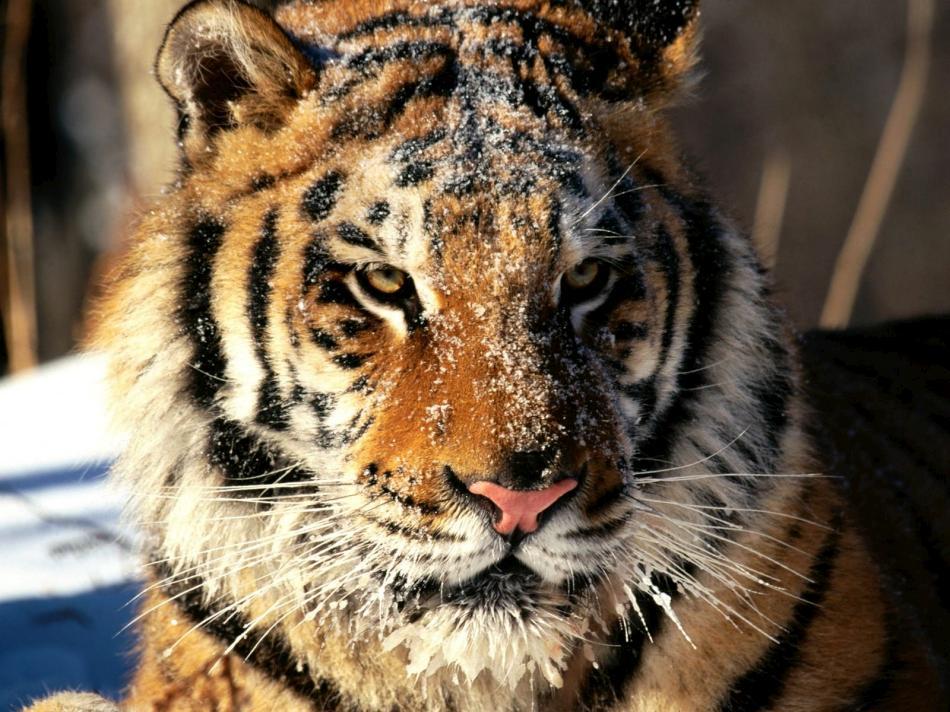 tiger-2010-13