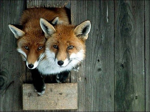 картинки прикольные лисы