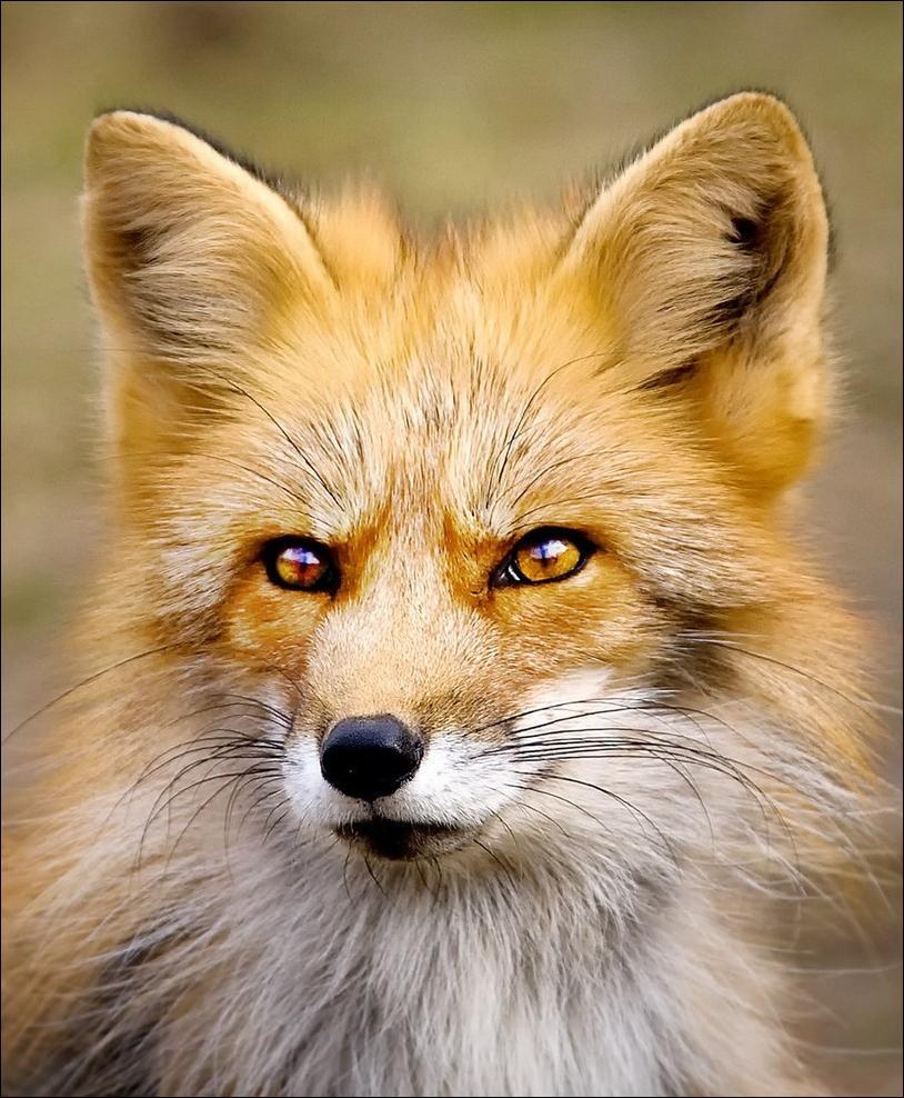 Прикольные лисы картинки 14 фотография