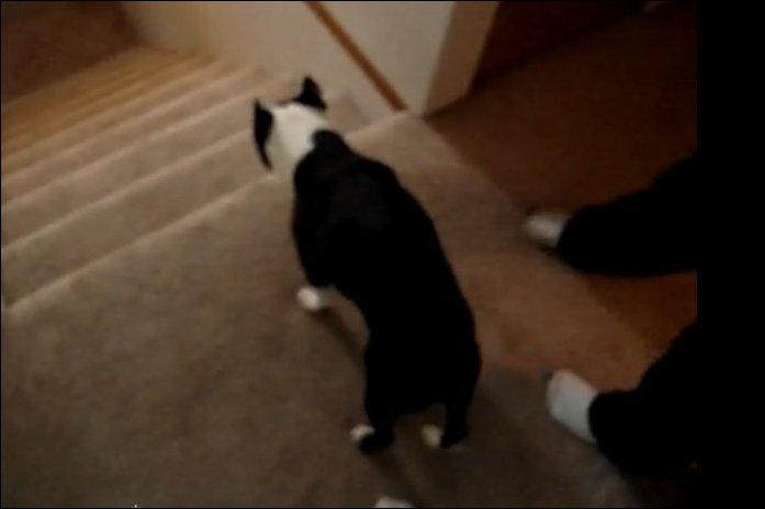 Собака спускается по лестнице на двух лапах