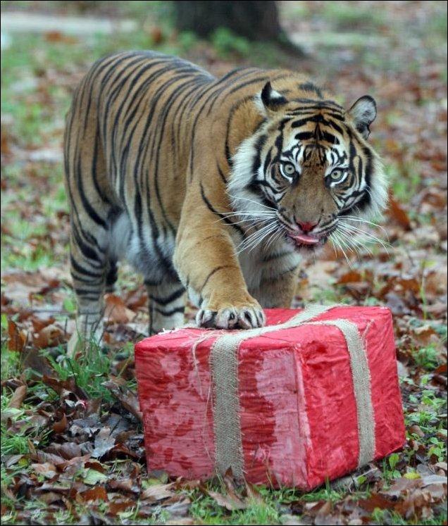 Картинки поздравление с днем рождения с тигром