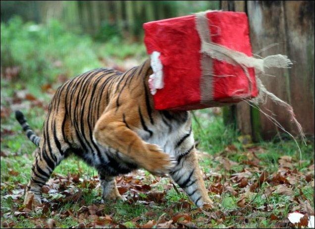 Подарок для тигра