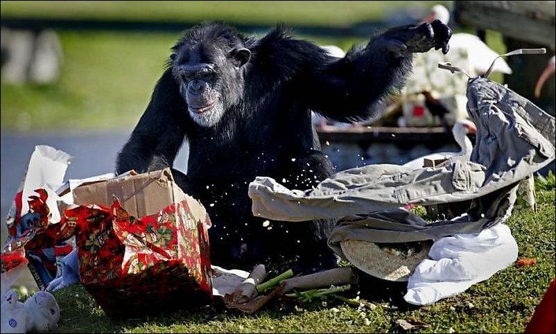 Подарки для шимпанзе