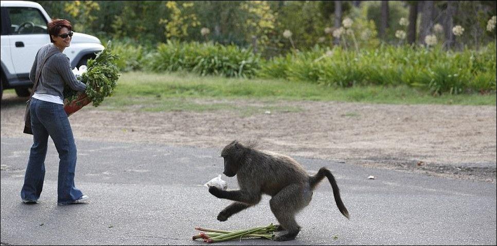 Наглые бабуины