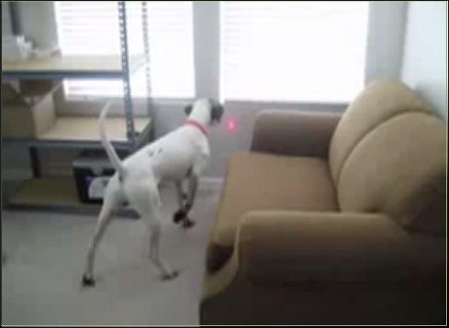 Собака и лазерная указка