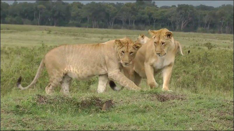 Мангуст против трех львиц