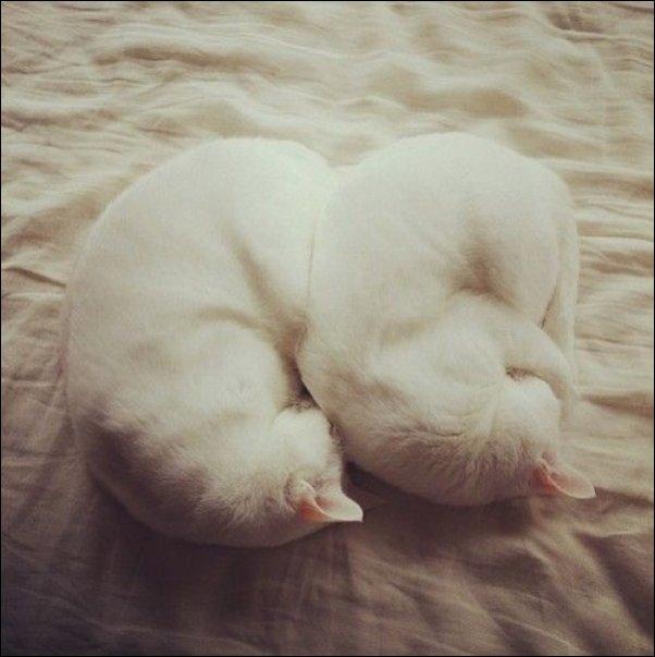 Коты-синхронисты