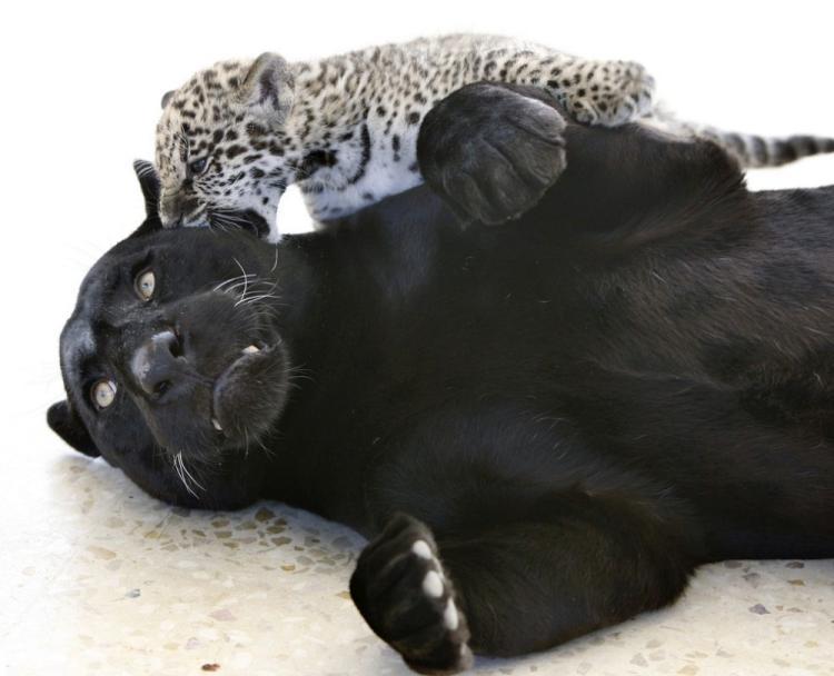 jaguar-cub-00