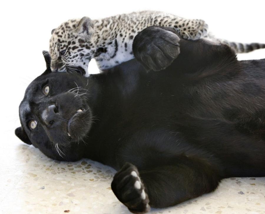 jaguar-cub-01