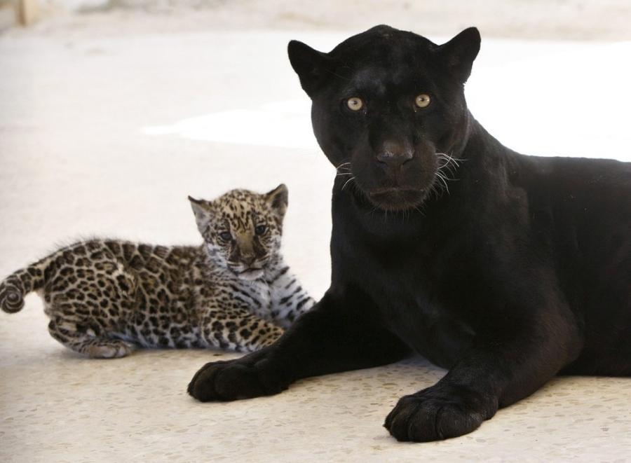 jaguar-cub-02