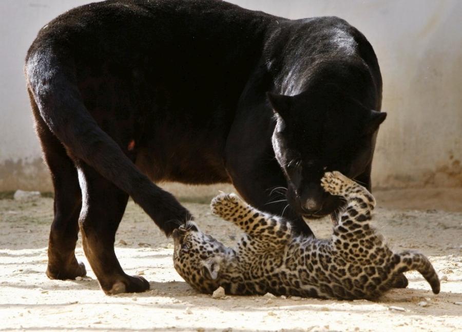 jaguar-cub-04