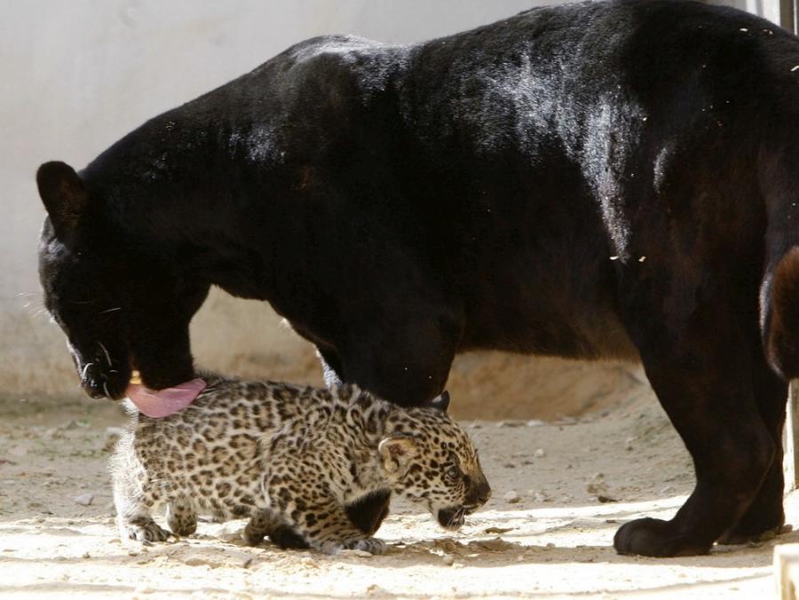 jaguar-cub-05