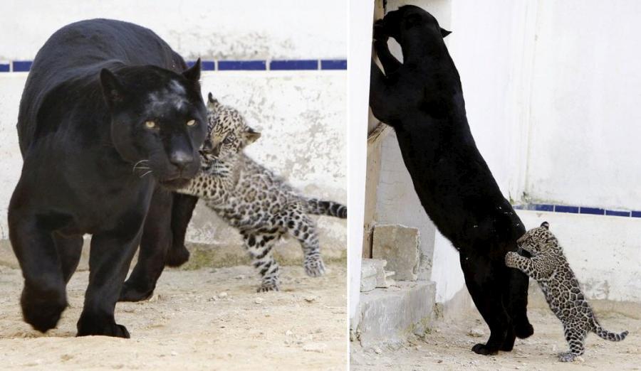 jaguar-cub-06