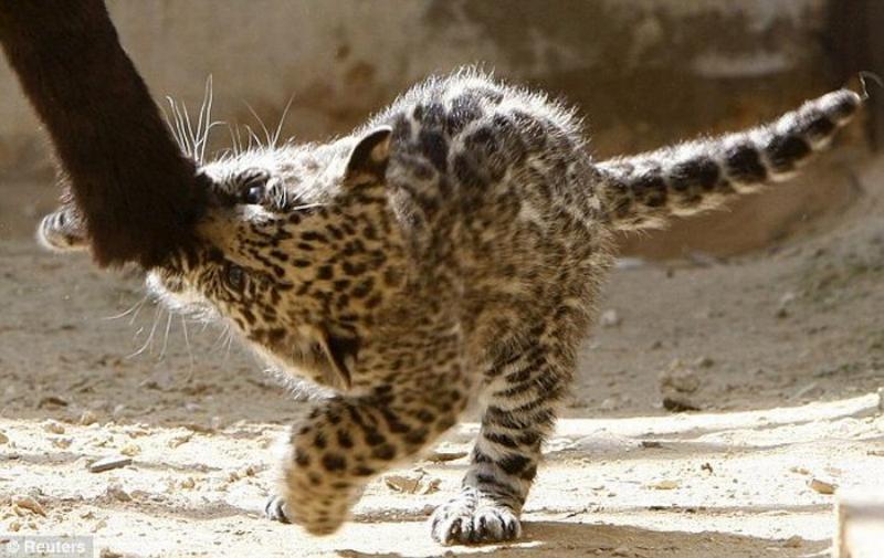 Маленький ягуар играет со своей мамой (7 фото) .