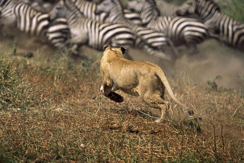 zebra-hunt-02