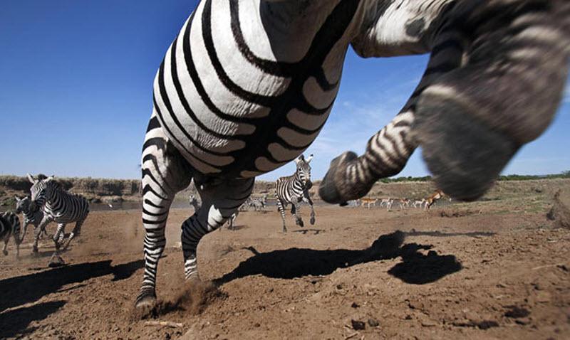 zebra-hunt-03