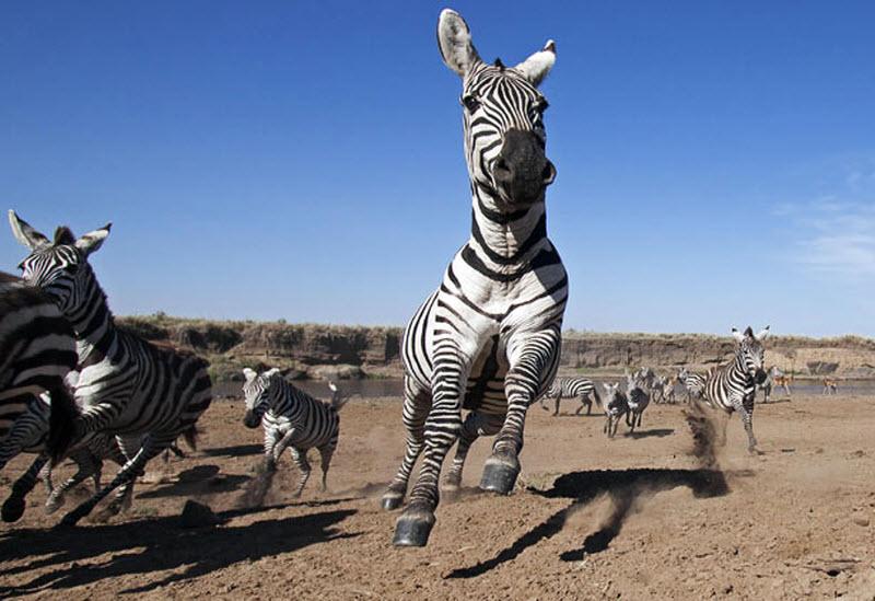 zebra-hunt-04
