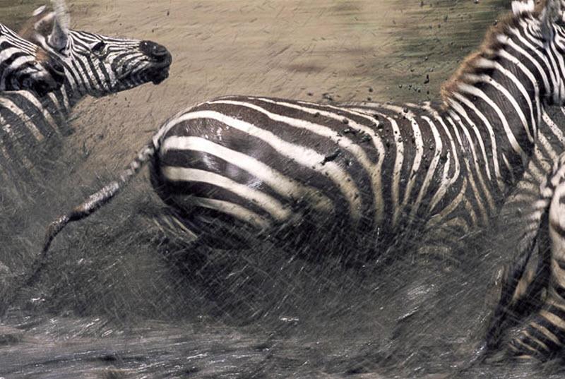 zebra-hunt-05