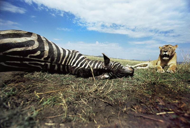 zebra-hunt-06