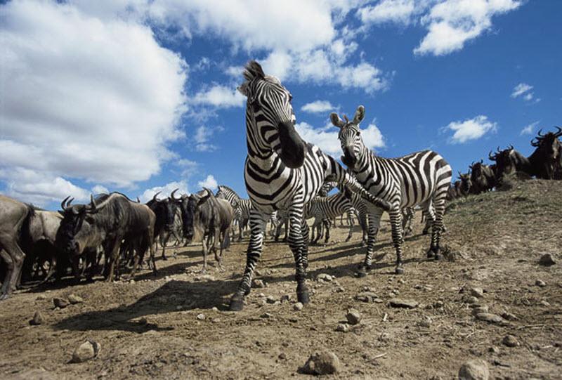 zebra-hunt-07
