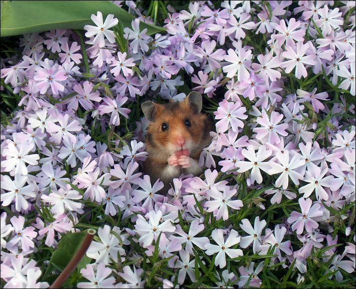 С Днём рожденья Олесю Плакидкину! Hamster-flowers-08